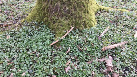 Scharbockskraut am typischen Standort unter einem Baum.